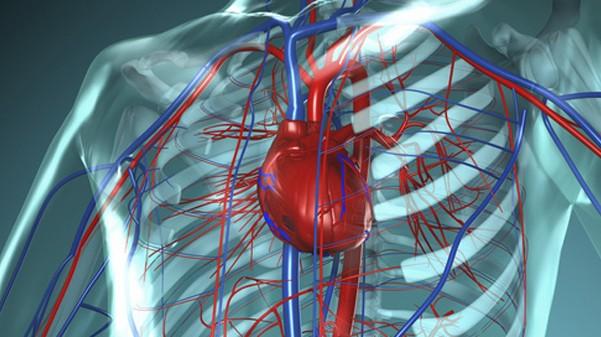 Das Herz-Kreislaufsystem - durch eine Grippe-Impfung besser geschützt? (Bild: ap_i/Fotolia)