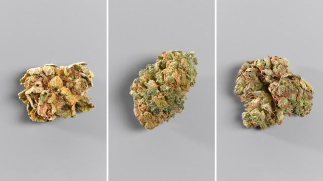 Cannabisblüten unterschiedlicher Sorten haben nicht nur unterschiedliche THC- und CBD-Gehalte, sondern können auch ganz unterschiedlich aussehen. Von links nach rechts: Orange No 1; Red No 2; Red No 4. (Alle Fotos: Spectrum Therapeutics)
