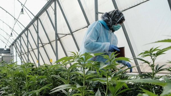 Cannabis-Anbau: 79 Bieter sind im Rennen