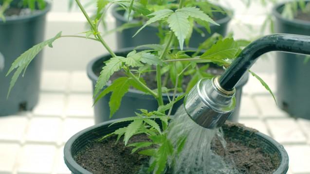 Legalen Eigenanbau wird es laut Tolmein auch dann noch geben, wenn Cannabis für einige schwerkranke Patienten von den Kassen erstattet wird. (Foto: Jdubsvideo / Fotolia)