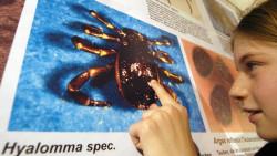 Hyalomma-Zecken nutzen auch den Menschen als Wirt und können schwere Infektionen übertragen. (Foto: Armin Weigel / picture alliance)