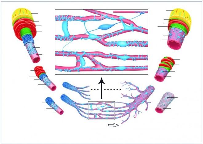 Pathogenese von Venen trophischen Geschwuren