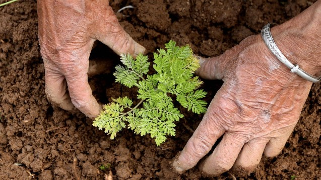 Es waren Chinesen, die in den 1970er Jahren aus dem einjährigen Beifuß (Artemisia annua)das Artemisinin isolierten, den heute wichtigsten Wirkstoff gegen Malaria. (Foto: imago images / Xinhua)