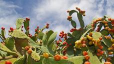 Der Feigenkaktus, Opuntia ficus-indica, ist in vielen tropischen und subtropischen Regionen der Erde zu finden. (Foto: Matauw / AdobeStock)