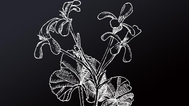 Die Pelargonie, Pelargonium sidoides DC.