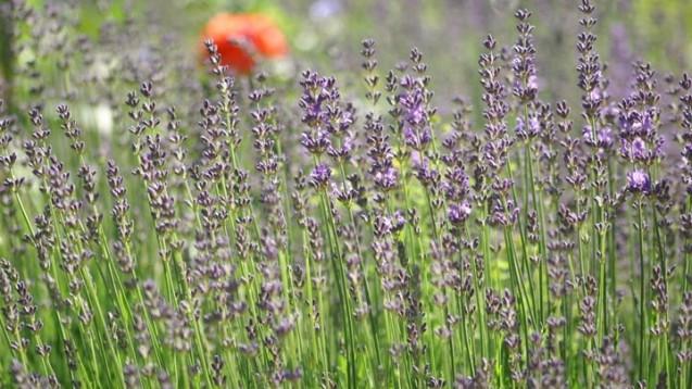 Der Echte Lavendel (Lavandula angustifolia) ist die Arzneipflanze des Jahres 2020.(c / Foto: Niedenthal / Forschergruppe Klostermedizin)