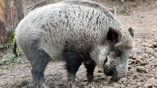 Weil sich die Afrikanische Schweinepest ausbreitet, wurde die Jagd auf Wildschweine intensiviert. (Foto PIcture Alliance)