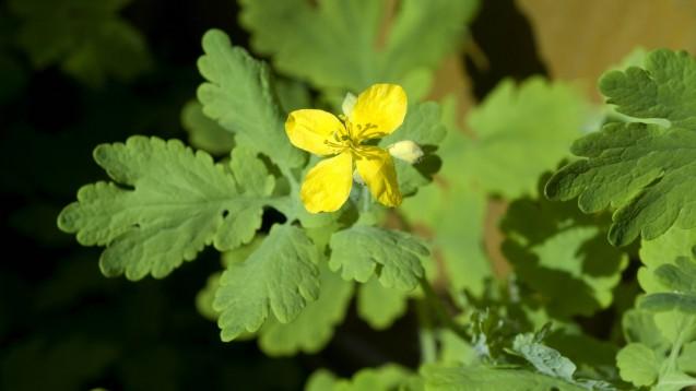Die Arzneipflanze Chelidonium majus L. ist der umstrittene Inhaltsstoff in Iberogast. Aber wie wirkt Schöllkraut? Und wie sind die klinischen Belege? ( r / Foto: Imago)