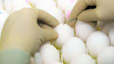 """Die """"inaktivierten"""" Impfviren können mutieren, während sie in bebrüteten Hühnereiern heranwachsen.(Foto: dpa-report)"""