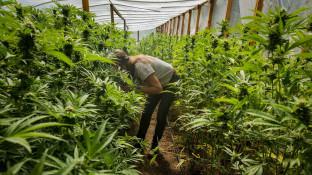 Ministerium: Cannabis-Ernte ab 2019 auch in Deutschland