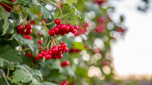 Cranberryextrakte sind keine Medizinprodukte