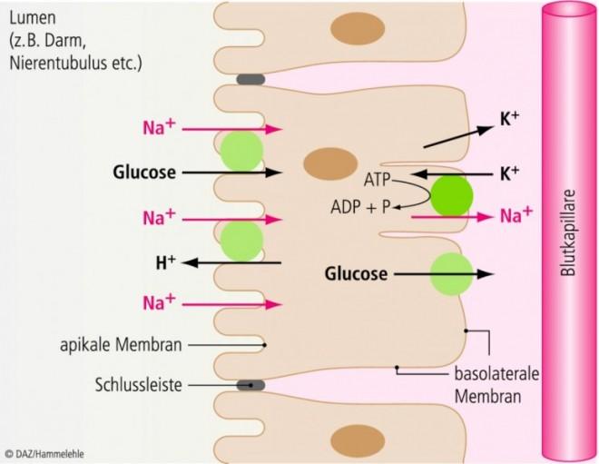 transport von glucose aus dem dünndarm ins blut