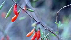 Fall für die Apotheke: Goji-Beeren kein Superfood, sondern Heilpflanze, deren Inhaltsstoffe als Arzneistoff eingestuft werden müssen.   (Sawamba / Wikipedia)
