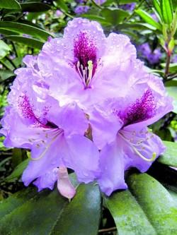D2809_rhododendron.jpg