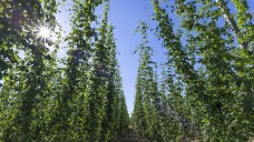 """Die Bundesregierung soll den Export von """"Cannabis made in Germany"""" ermöglichen, findet die FDP. Doch dafür muss es mit dem deutschen Anbau erstmal klappen. (c / Foto: imago)"""