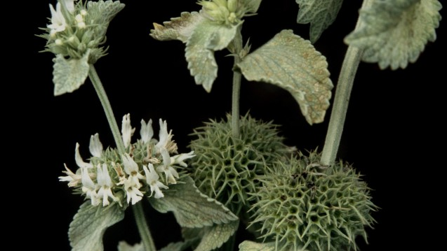 Der Andorn ist die Arzneipflanze des Jahres. (Foto:picture alliance / blickwinkel)