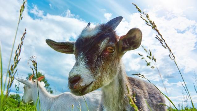 Trügerisches Idyll? Auch Ziegen können als Paarhufer Überträger von Q-Fieber sein. (Foto: Gladkikh / Fotolia)