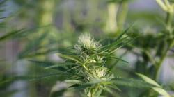 FDP, Linke und Grüne sind sich einig, dass die bisherige Verbotspolitik zu Cannabis gescheitert ist. Die drei Oppositionsparteien haben allerdings unterschiedliche Vorstellungen darüber, wie eine mögliche Cannabis-Freigabe aussehen könnte. (Bild: Imago)