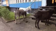 Es bleibt ungeklärt, was die drei Esel vor der Apotheke wollten. Die Polizei leinte die Tiere vor der Bad Godesberger Polizeiwache an. (Foto: Polizei Bad Godesberg)