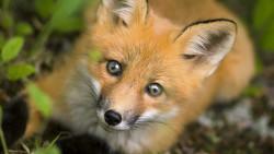 Der wichtigste Endwirt vonEchinococcus multilocularis ist der Fuchs. (s / Foto:Paul Binet/ stock.adobe.com)