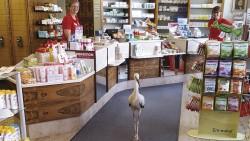 Seltener Besuch in der Apotheke: ein verletzter Storch. (Foto: Helmut Biehler)
