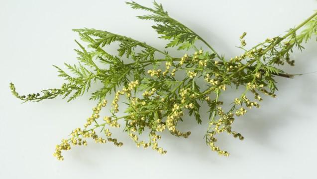 Die WHO rät von Artemisia-Tee ab, der auch hier von Apotheken vertrieben wird. (Foto: emer / Fotolia)