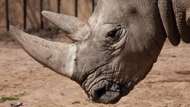 Nashornpulver als Potenzmittel ist vor allem in Asien begehrt. Die große Nachfrage hat den Bestand der Tiere extrem dezimiert. Dabei beruht die Wirksamkeit wohl allein auf dem Placeboeffekt. (hecke71 / Fotolia)