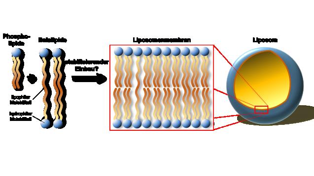 Bolalipide sollen als Bestandteil einer Liposomenmembran, die Liposomen säureresistent machen.  (Bild: Drescher privat)