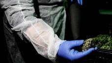 Eigentlich erwarten Patienten, Apotheker und Ärzte, dass das Stoffprofil einer Cannabismarke über mehrere Chargen konstistent bleibt. Doch ganz so selbstverständlich ist das nicht. (Foto: imago images Zuma Press)