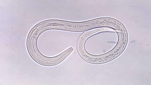 Larve des Hakenwurms: Proteine der Fadenwurm-Art schützen Versuchstiere offenbar vor asthmatischen Erkrankungen. (Foto: CDC)