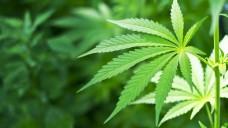 Die Diskussion um die Legalisierung von Cannabis erhält neuen Schwung. (Foto: sarra22/Fotolia)