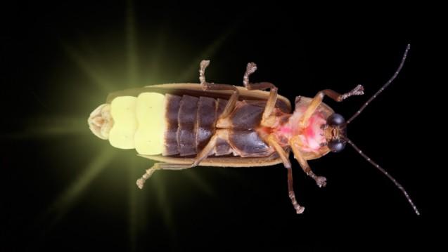 Glühwürmchen verdanken ihren irreführenden Namen dem wurmähnlichen Aussehen der leuchtenden weiblichen Käfer. (Foto: Cathy Keifer / stock.adobe.com)