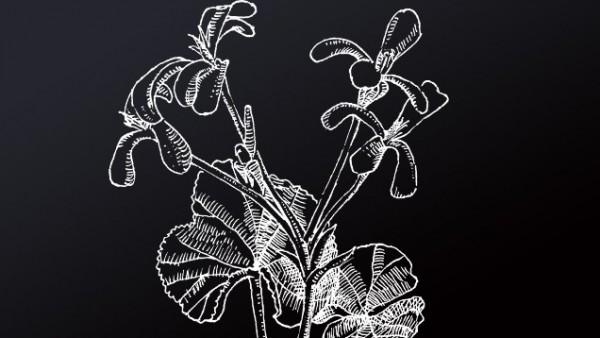 Pelargonie
