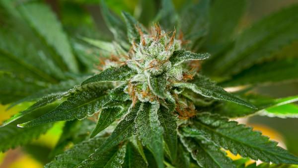 Erfolg mit Cannabinoiden in klinischer Studie