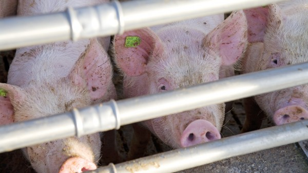Strengere Regeln für Reserve-Antibiotika in der Tiermast ab heute in Kraft