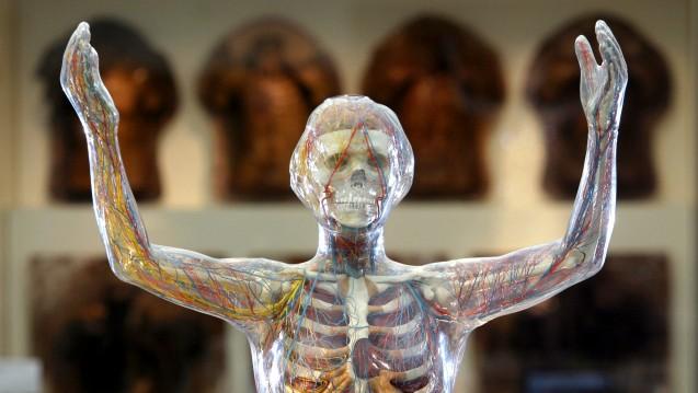 Werden wir alle zum gläsernen Menschen - wie dieses Exponat im Deutschen Hygienemuseum es schon ist? (Foto: picture alliance / ZB)