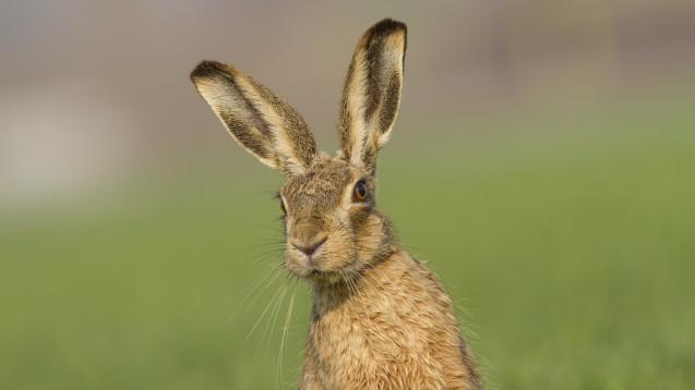 Hasen haben längere Ohren und kräftigere Hinterbeine als Kaninchen. (Foto: Lepus europaeus, Quelle: Ivan / stock.adobe.com)