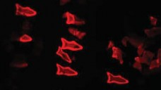 Ein Fluoreszenzbild der Mikrofische. (Bild: W. Zhu, J. Li/UC San Diego Jacobs School of Engineering)