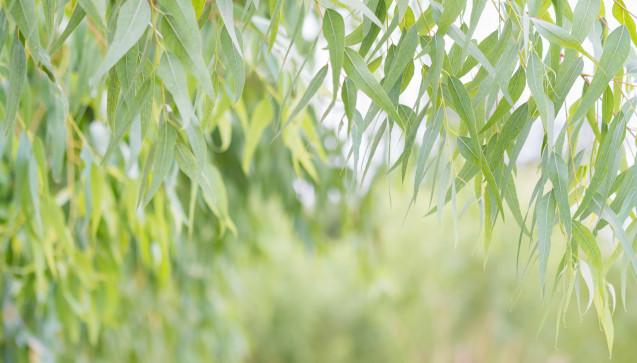 Eucalyptus globulus: Eucalyptus in homöopathischer Zubereitung eignet sich für Patienten, die über Unruhe, beschleunigte Atemfrequenz und Schlaflosigkeit trotz Müdigkeit klagen. Bei typischen Eucalyptus-Patienten verschlechtern sich die Symptome in Stresssituationen.(Foto: Ammak / stock.adobe.com)
