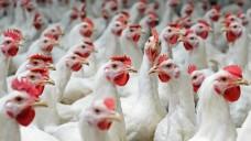 Zwar wird der Antibiotika-Einsatz in der Tierhaltung reduziert, doch viele Deutschen sorgen sich weiter um Resistenzbildungen. (Foto:buhanovskiy / Fotolia)