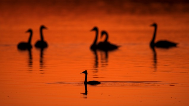 Nach Experteneinschätzung hat die Vogelgrippe sich inzwischen zur Pandemie unter Wildvögeln ausgeweitet. (Foto: picture alliance / dpa)