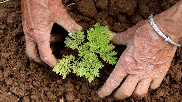 Artemisia Annua: Forschung in Deutschland, ungeprüfter Kräutertee in Madagaskar