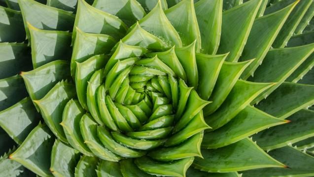 Das Wichtigste bei Aloe-vera-Gelen: Sie müssen frei von potenziell kanzerogenen Anthranoiden sein. (m / Foto: Sabine Hortebusch / stock.adobe.com)