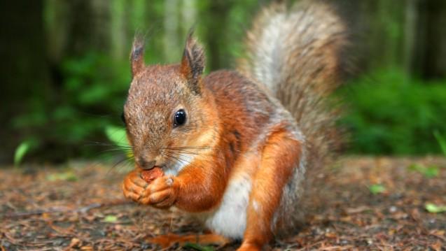 Einige Eichhörnchen sind in Berlin an einer neuen Pocken-Variante erkrankt. (Foto:@nt / Fotolia)