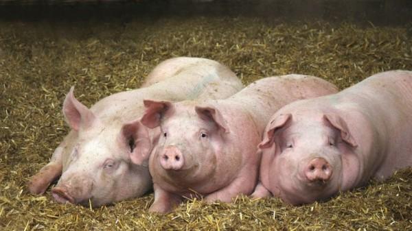 Mensch-Schwein-Chimären sollen Spenderorgane liefern