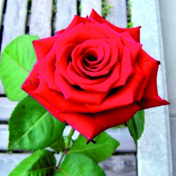 vom rot der rose zum blau der kornblume oder die vielf ltigkeit der bl tenfarben. Black Bedroom Furniture Sets. Home Design Ideas