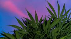 Die medizinische Anwendung der Hanfpflanze stand auf der International Cannabis Business Conference in Berlin am gestrigen Donnerstag im Mittelpunkt. (Foto: Imago)