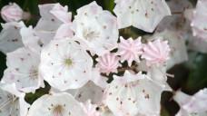 Grayanotoxin wird in Kalmia-latifolia gebildet. (Foto: Olga D. van de Veer / adobe-stock)