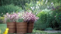 Geerntet wird, wenn die Pflanze voll im Saft steht, zur richtigen Jahres- und Tageszeit. (Foto: Wala)