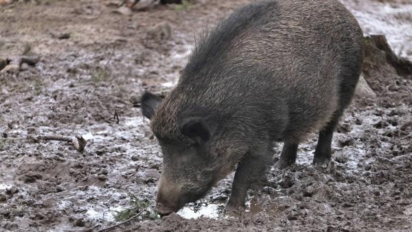 Afrikanische Schweinepest grassiert in Osteuropa